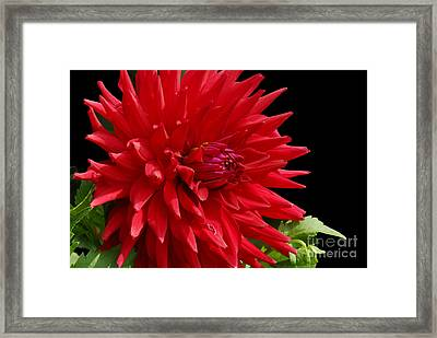 Decked Out Dahlia Framed Print by Cindy Manero