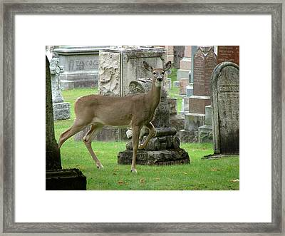 Deer Among The Headstones Framed Print