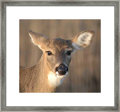 Deer At Dusk Framed Print