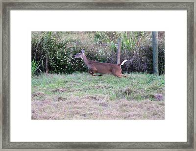 Framed Print featuring the photograph Deer At Viera by Jeanne Andrews