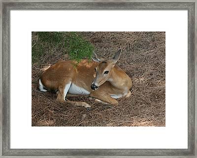 Deer  Framed Print by Lisa Williams