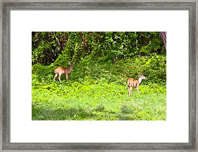 Deer On The North Of St. Croix Framed Print by David Alexander