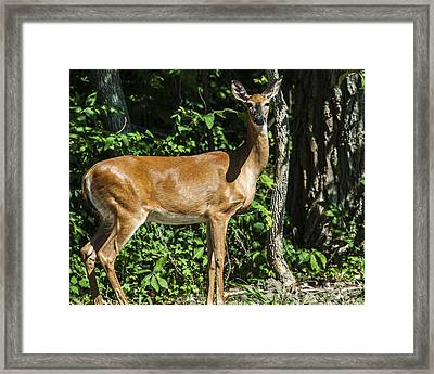 Deer Surprise Framed Print by Edward Peterson