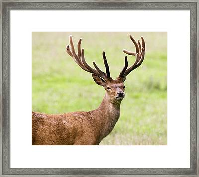 Deer With Antlers, Harrogate Framed Print by John Short