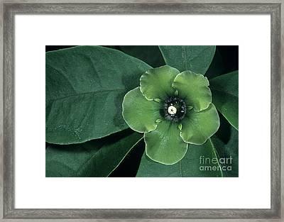 Deherainia Smaragdina Flower Framed Print by Bob Gibbons