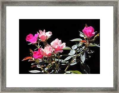 Delicate Old Fashion Pink Roses Framed Print by Linda Phelps