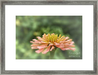 Delicate Pedals Framed Print by Tamera James