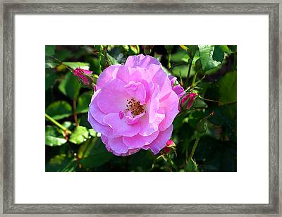 Delicate Pink Wild Rose With Dew Framed Print