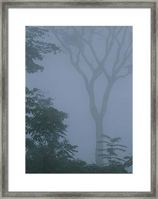 Delicate Trees Appear Out Of The Mist Framed Print by Mattias Klum