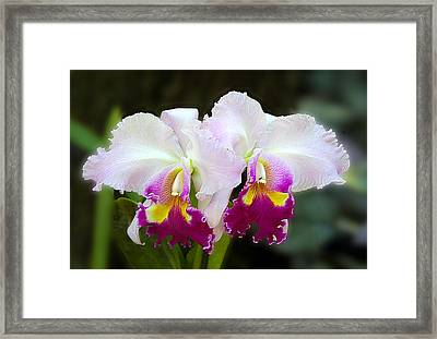 Delicate White Orchid Framed Print by Linda Phelps