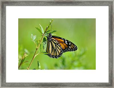 Delicate Wings Framed Print by Bill Cannon