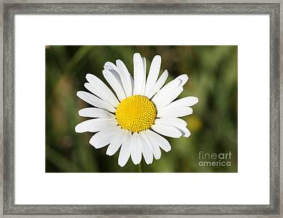 Delightful Summer Daisy Framed Print by Inspired Nature Photography Fine Art Photography