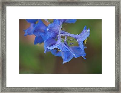 Delphinium 1 Framed Print by Jessica Lowell