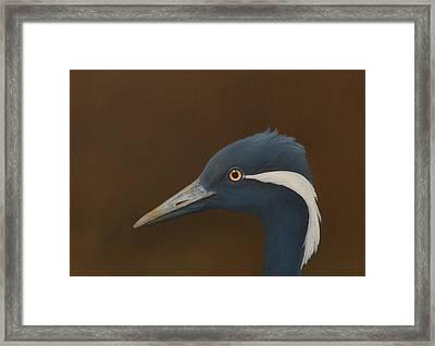Demoiselle Crane Framed Print by Norm Holmberg