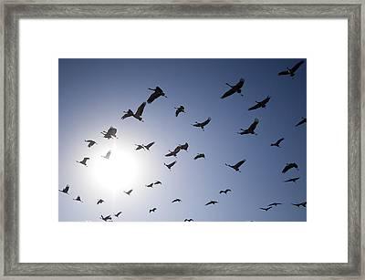 Demoiselle Cranes (anthropoides Virgo) Group Of Birds Flying, In Khichan, Rajasthan, India Framed Print by Berndt Fischer