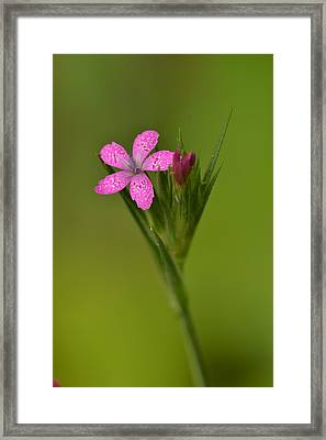 Framed Print featuring the photograph Deptford Pink by JD Grimes