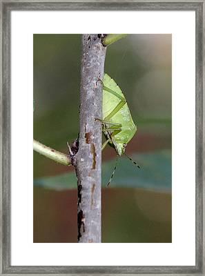 Descent Of A Green Stink Bug Framed Print by Doris Potter