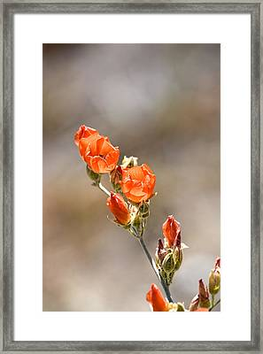 Desert Apricot Mallow Framed Print by Peter Tellone