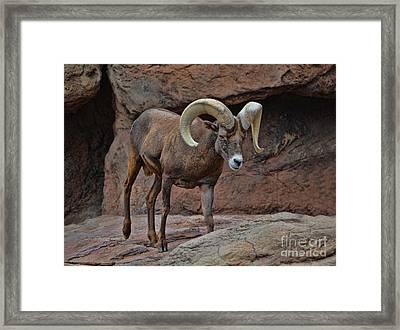 Desert Bighorn Sheep Ram I Framed Print