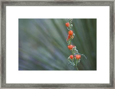 Desert Globemallow Flowers Framed Print