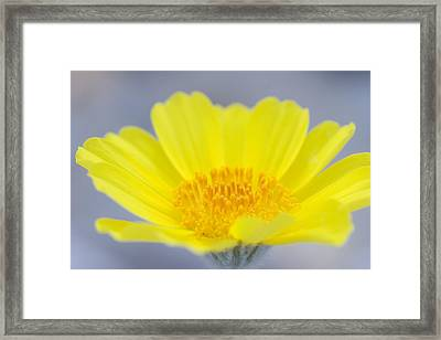 Desert Gold Is A Common Wildflower That Framed Print by Phil Schermeister