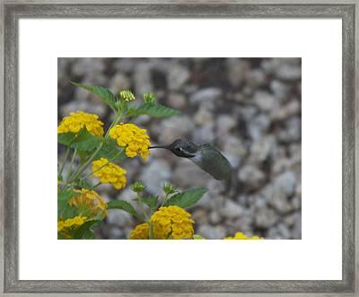 Desert Hummingbird Framed Print by Dietrich Sauer