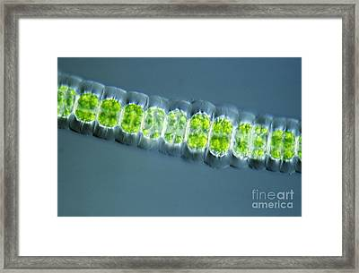 Desmidiaceae Framed Print by M. I. Walker