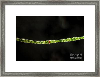 Desmidium Sp. Green Algae, Lm Framed Print by Ted Kinsman