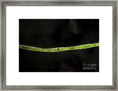 Desmidium Sp. Green Algae, Lm Framed Print