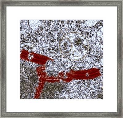 Desmosome Cell Junctions, Tem Framed Print by Steve Gschmeissner
