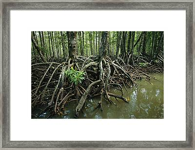 Detail Of Mangrove Roots At The Waters Framed Print by Tim Laman