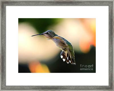 Determined Hummingbird Framed Print by Carol Groenen