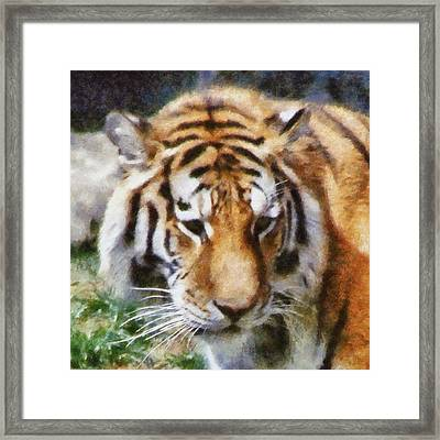 Detroit Tiger Framed Print