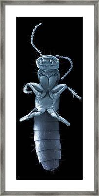 Devil's Coach Horse Beetle, Sem Framed Print by Steve Gschmeissner