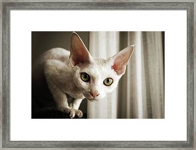 Devon Rex Cat Looking At Camera Framed Print by Troydays