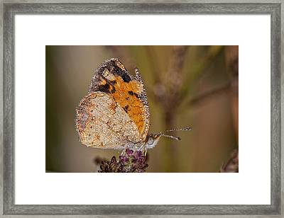 Dew Drenched Pearl Crescent Butterfly Framed Print by Bonnie Barry