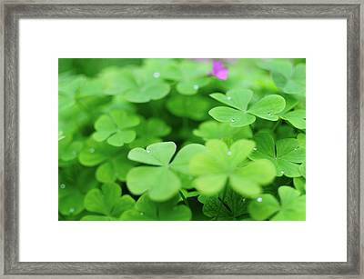 Dew Drops In Clover Field In Provence Framed Print