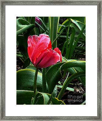Framed Print featuring the digital art Dew Drops On Red Tulip by Glenna McRae