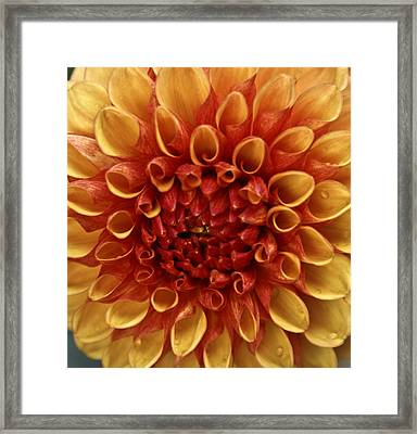Dew Kissed Chrysanthemum Framed Print by John Black