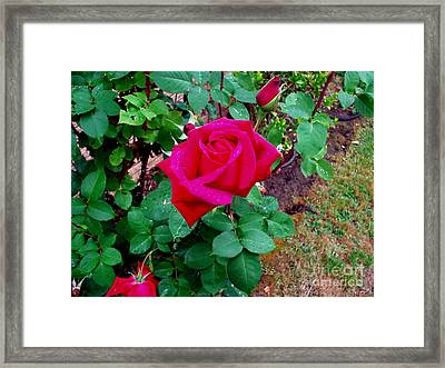 Dew Kissed Red  Rose Framed Print by The Kepharts