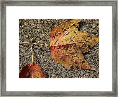 Dew On The Maple Leaf Framed Print