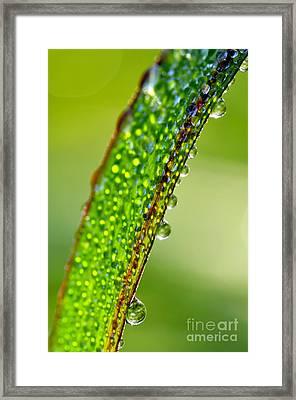 Dewdrops On Lemongrass Framed Print by Thomas R Fletcher