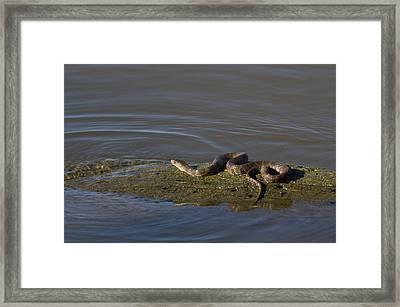 Diamondback Water Snake - 4011 Framed Print