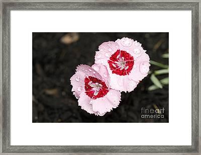 Dianthus Flowers Framed Print by Denise Pohl
