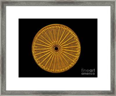 Diatom Alga, Arachnoidiscus Framed Print by Eric Grave