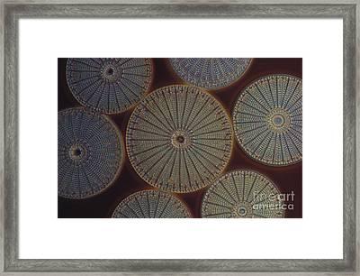 Diatom - Arachnoidiscus Framed Print