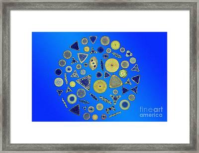 Diatom Arrangement Framed Print by M I Walker