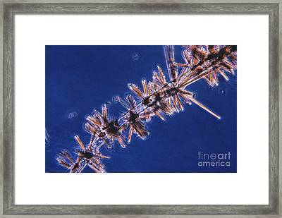 Diatoms Attached To Alga, Lm Framed Print by Eric V. Grave