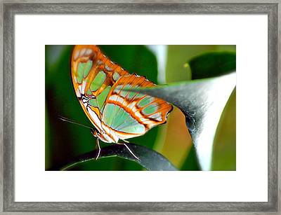 Framed Print featuring the photograph Dido Longwing Butterfly by Peggy Franz