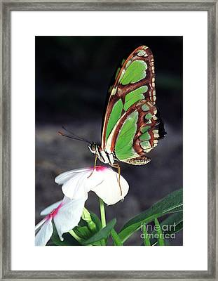 Dido Longwing Butterfly Framed Print by Terry Elniski